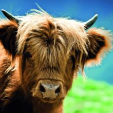 Пазл Heye, 1000 элементов - Горный бык