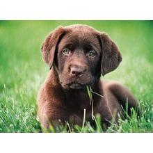 Пазл Clementoni, 500 элементов - Шоколадный щенок
